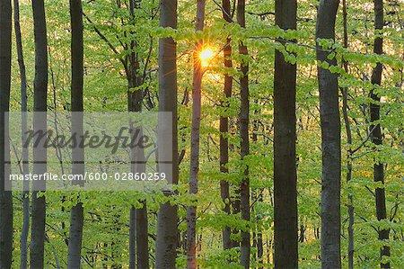 Nahaufnahme der Sonne durch Buchenwald Baum. Spessart, Bayern, Deutschland