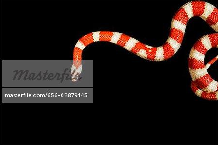 Orange and white Coral snake