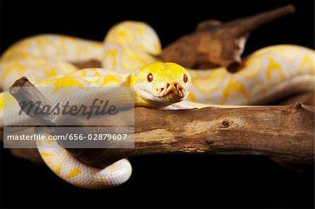 Yellow Abino Python on tree branch