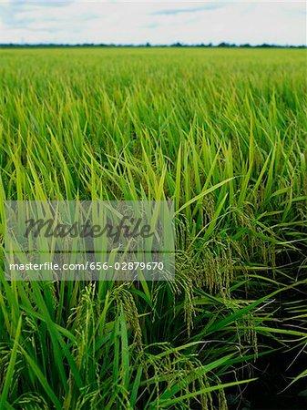 open area rice fields