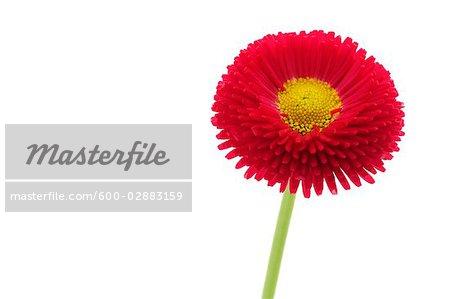 Rouge anglais Daisy