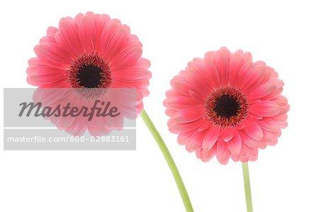 Marguerite de Gerbera rose