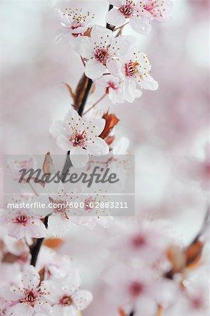Cherry Plum Blossom