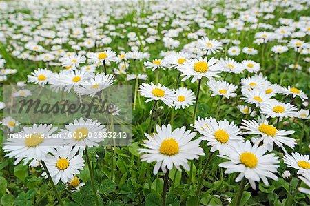 Marguerites Meadow, Bavière, Allemagne