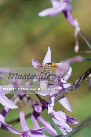 Bee gathering pollen on purple flowers