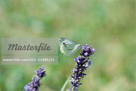 Papillon au repos sur la lavande