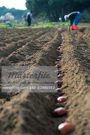 Agriculteurs à planter des pommes de terre dans le champ labouré