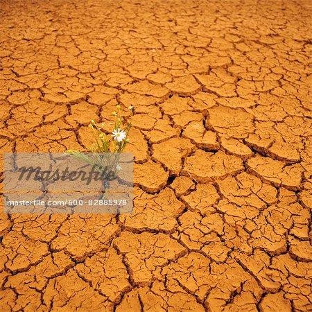 Wildflower Growing in Arid Cracked Earth