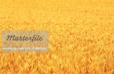 Wheat Crop, Close-up
