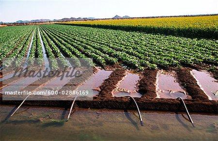 Irriguer les cultures de tournesol et de haricot