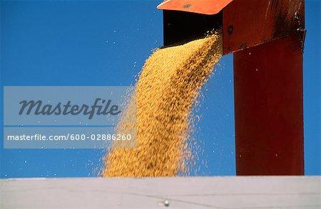 Blé récolte, en remplissant le champ Bin, Australie
