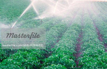 Spray Irrigation des cultures de pommes de terre