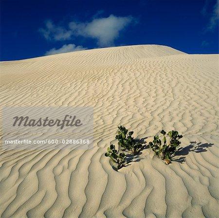 Plant Growing in Sand Dune, Nambung National Park, Australia