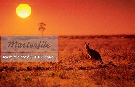 Kangaroo Standing on Treeless Plain at Sunset, Australia