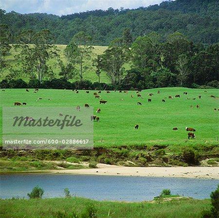 Rindfleisch Vieh weidete neben River, Australien