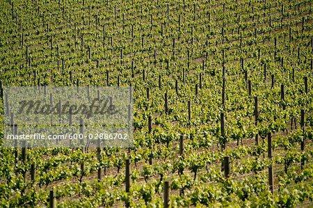 Vineyard, Grape Vines