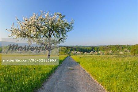 Blooming Apple Tree, Spessart, Bavaria, Germany