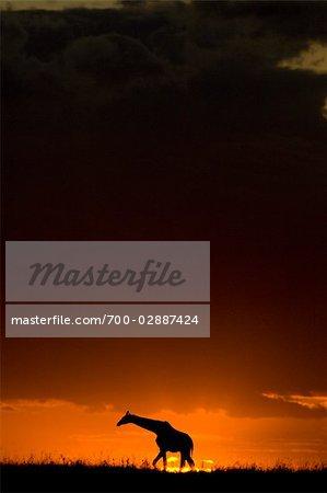 Silhouette de girafe au coucher du soleil, Masai Mara, Kenya