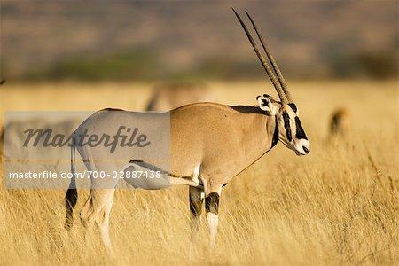 Profile Portrait of Oryx
