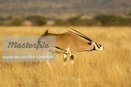 Oryx, Buffalo Springs National Reserve, Kenya