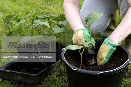 Haricots d'Espagne étant plantés