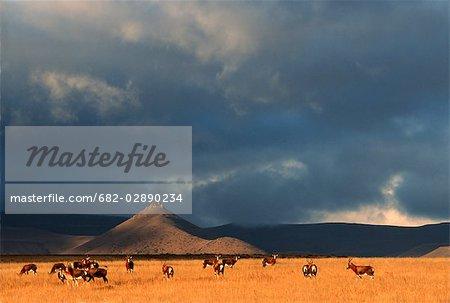 Blesbok (Damiliscus dorcas phillipsi) Herd on Open Karoo Landscape