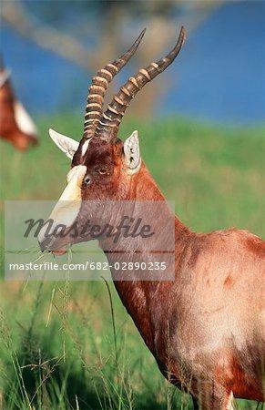 Portrait of a Blesbok (Damaliscus albifrons) Eating Grass