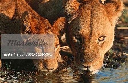 Gros plan de lionne (Panthera leo) et de boire de la cub. Réserve de Moremi Wildlife, Botswana.