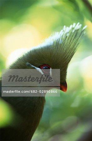 Voir le profil:: un Touraco louri (Lourie) (Tauraco corythaix)