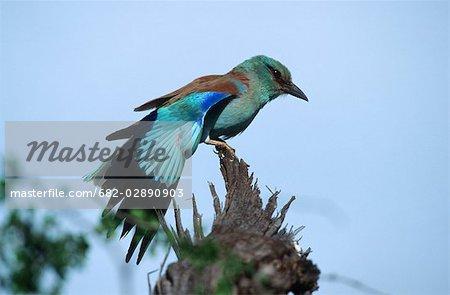 Voir le profil:: un rouleau eurasien (Coracias garrulus) perché sur un tronc