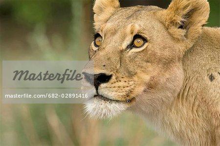 Lionne (Panthera leo) peering vers le haut dans l'arborescence, Delta de l'Okavango, Botswana