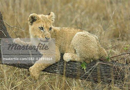 Cub Lion (Panthera leo) située sur la branche, Mashatu Game Reserve, Botswana