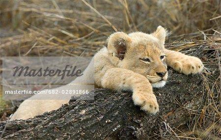Cub Lion (Panthera leo), farniente sur la branche, Mala Mala, la réserve de Sabi Sand, Province de Mpumalanga, Afrique du Sud