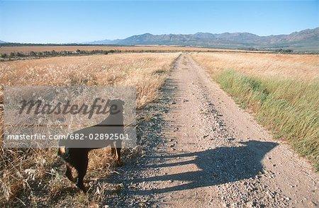 Vue arrière d'un Rottweiler sur un chemin de terre