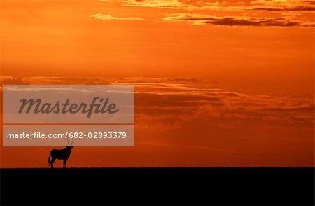 Silhouette d'un solitaire Gemsbok (Oryx gazella) au coucher du soleil
