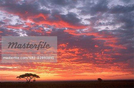 Silhouette of an Umbrella Thorn Acacia Tree Against a Dramatic Sky