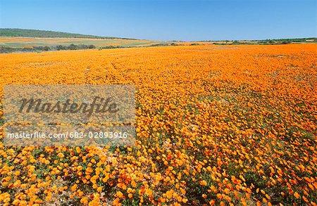 High-angle vue d'un champ de marguerites