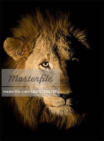 Lion (Panthera leo), le plus grand parc National de Kruger, Afrique du Sud