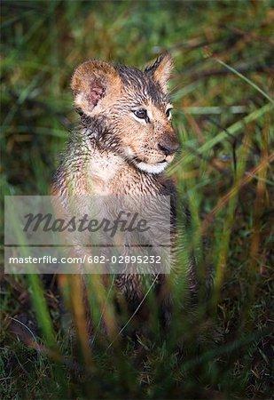 Mouiller le lionceau (Panthera Leo) dans l'Okavango marais, île de chefs, Moremi National Park, Botswana