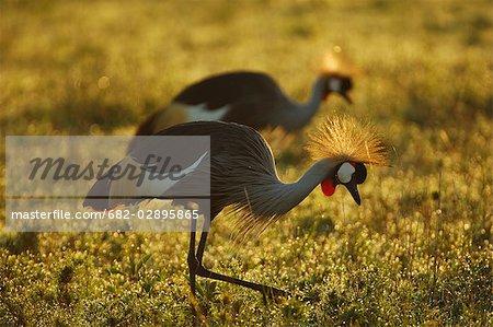 Grey Crowned Cranes (Balearica regulorum) in early morning light, Masai Mara, Kenya