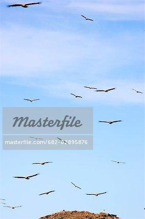 Grand groupe de voler des vautours du Cap (Gyps coprotheres)
