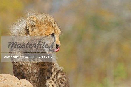 Un ourson de guépard (Acinonyx jubatus) lèche son nez tout en mangeant. Hoedspriut Centre d'élevage, Province de Limpopo, Afrique du Sud en voie de disparition
