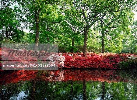 Azaleas, The Isabella Plantation, Richmond Park, London, England, United Kingdom, Europe