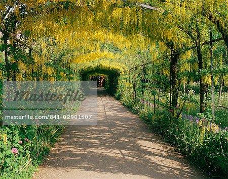 Laburnum Walk in Wilderness Gardens, Hampton Court, Greater London, England, United Kingdom, Europe