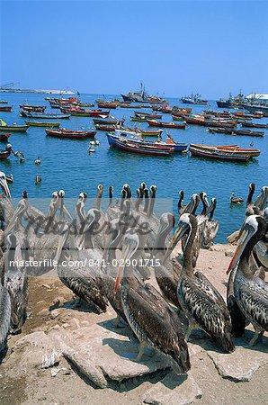 Pelikane durch den Hafen, Arica, Chile, Südamerika