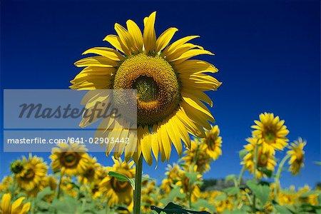 Gros plan du tournesol dans un champ de fleurs en Toscane, Italie, Europe