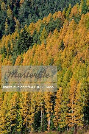 Arbres en couleurs d'automne dans les Dolomites du Trentin Haut-Adige, Italie, Europe