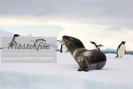 Adelie Penguins and Leopard Seal, Antarctica