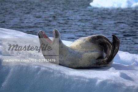 Phoque léopard, Antarctique
