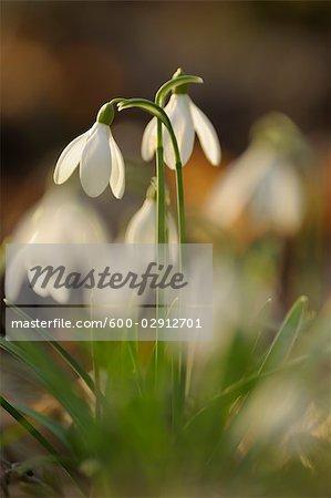 Close-up of Snowdrops, Spessart, Bavaria, Germany